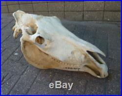 Large Horse Skull (Equus ferus caballus) Head complete entire skull taxidermy